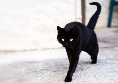 chat noir Ours des Vosges