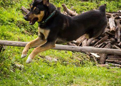 chien sautant Ours des Vosges