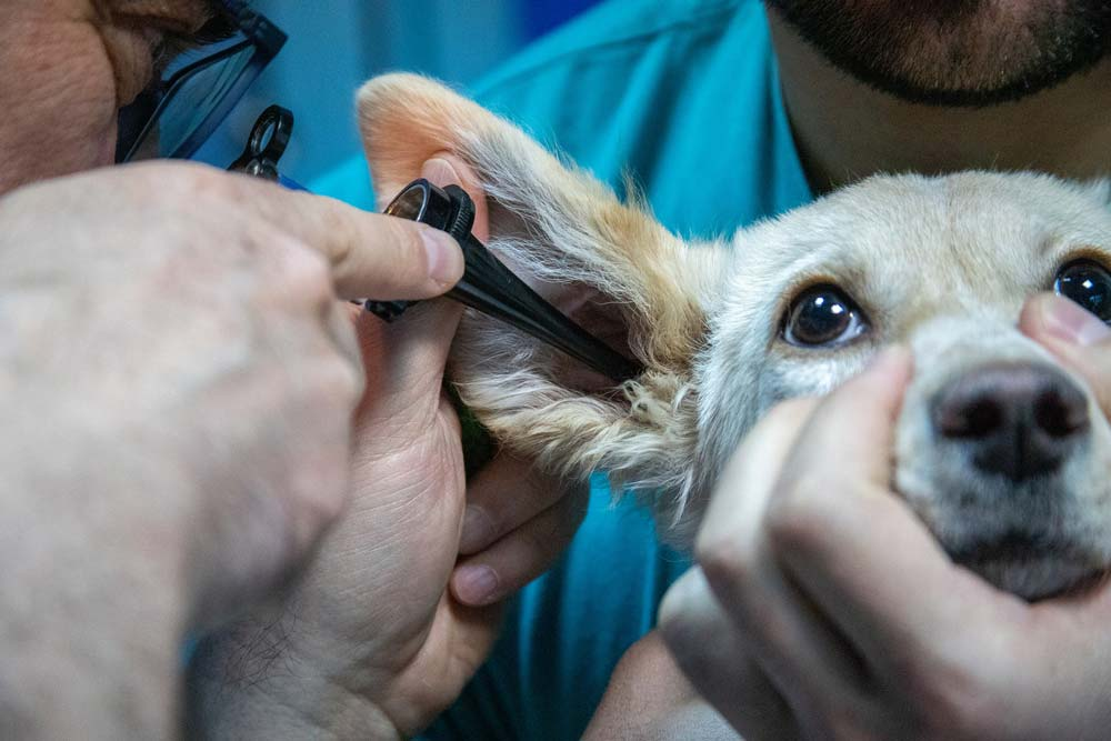 auscultation chien oreil Ours des Vosges