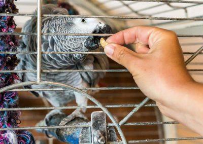 Perroquet mangeant un cacahuète