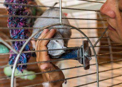 Perroquet cherchant des caresses