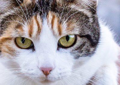 Gros plan d'une chatte tricolore